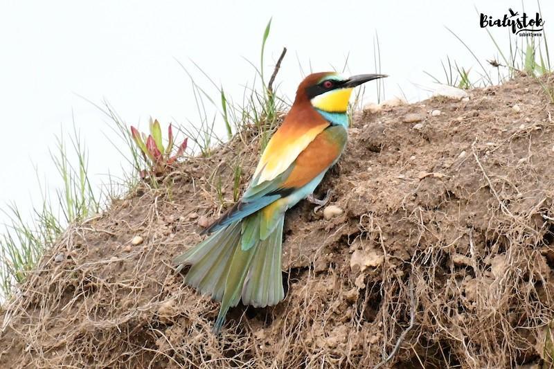 Podlaskie ptaki